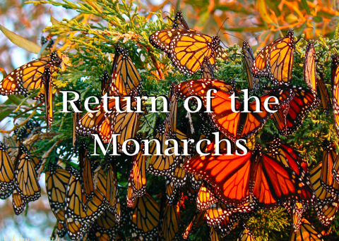 Return of the Monarchs